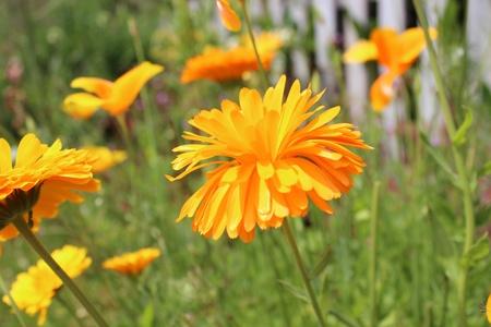 Orange Poppies and Marigolds, Summer, England