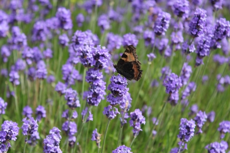 admiral: Red Admiral Butterfly on Lavender, England