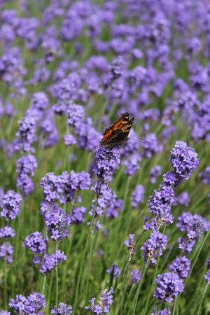Red Admiral Butterfly on Lavender, England  photo