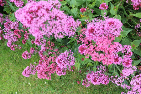 vibrant cottage: Little Pink Flowers, Summer, England  Stock Photo