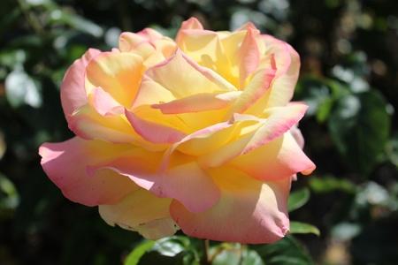 timeless: English Tea Rose, Summertime, England