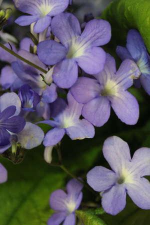 hues: Lilac Blue Mini Foxglove, England