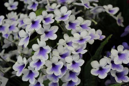 vibrant cottage: Ivory Purple Mini Foxglove, England