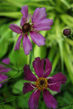 hues: Magenta Daisy, Summertime, England