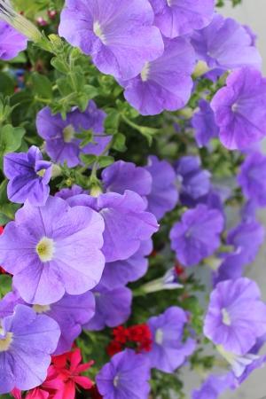 petunias: Blue Petunias, Summer, England Stock Photo