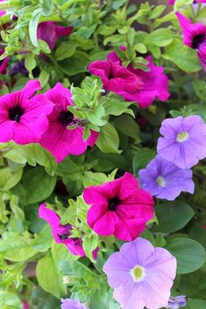petunias: Cyclamen and Lilac Petunias, Summer, England Stock Photo