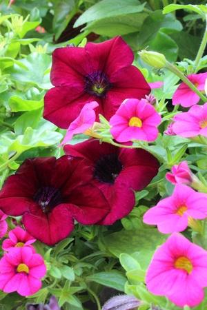 petunias: Magenta Petunias, Summertime, England