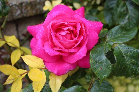 timeless: Raindrops on Pink Rose, Summertime, England