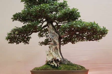 idealistic: Bonsai tree