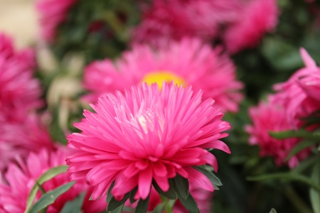 multi petalled: Pink Aster Flowers, Summer, England