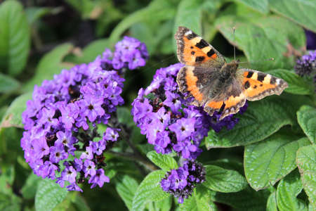 admiral: Red Admiral Butterfly on Purple Flowers, England