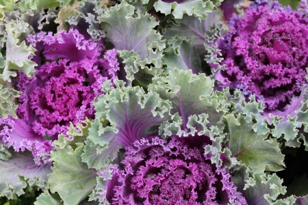 variegated: Pink Ornamental Variegated Cabbage, England Stock Photo