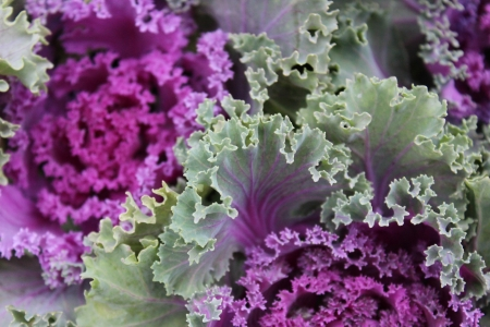 Pink Ornamental Variegated Cabbage, England photo
