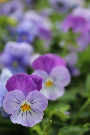 dainty: Dainty Delicate Viola Flowers, England