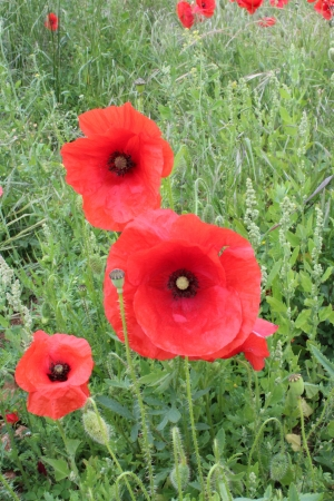 trembling: Wild Red Poppies at Edge of Field, England