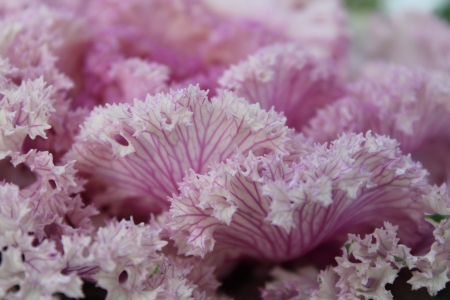 scalloped: Pink Frilly Scalloped Cabbage, England