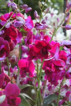fuschia: Fuschia Orchids, Bangkok, Thailand Stock Photo