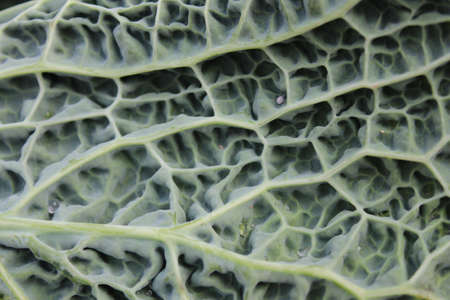 unusual angle: Viridian Cabbage Leaf Detail, England