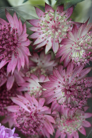 Pastel Pink Dainty Flowers, Summertime, England  photo