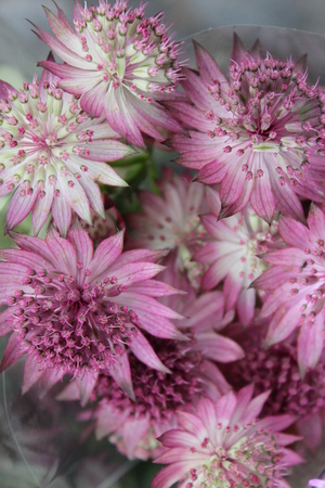 dainty: Pastel Pink Dainty Flowers, Summertime, England