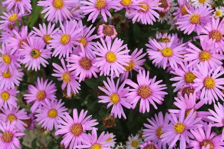 multi petalled: Charming Pink Daisies in Summer, England Stock Photo