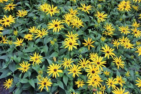 Bright Yellow Daisies, Summertime, England Stock Photo - 23850375