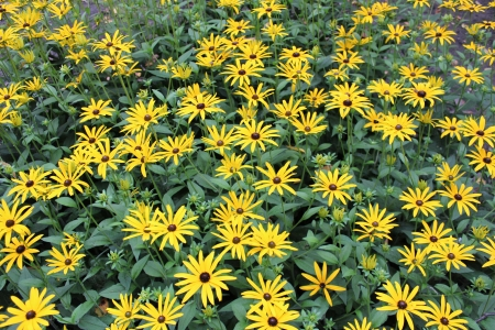 Bright Yellow Daisies, Summertime, England Stock Photo - 23850434