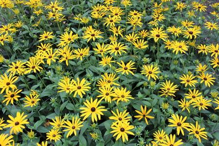 Bright Yellow Daisies, Summertime, England Stock Photo - 23850435
