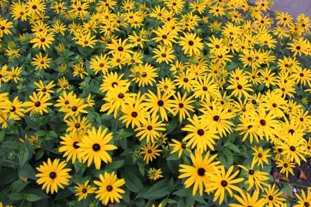 Bright Yellow Daisies, Summertime, England Stock Photo - 23850437