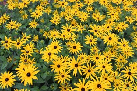 Bright Yellow Daisies, Summertime, England Stock Photo - 23850438