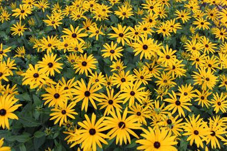 Bright Yellow Daisies, Summertime, England  Stock Photo - 23850439