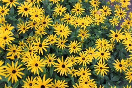 Bright Yellow Daisies, Summertime, England Stock Photo - 23850440