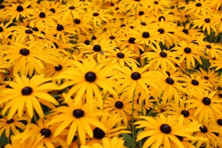 Bright Yellow Daisies, Summertime, England  Stock Photo - 23850442