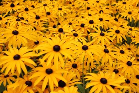 Bright Yellow Daisies, Summertime, England Stock Photo - 23850442