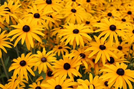 multi petalled: Bright Yellow Daisies, Summertime, England  Stock Photo