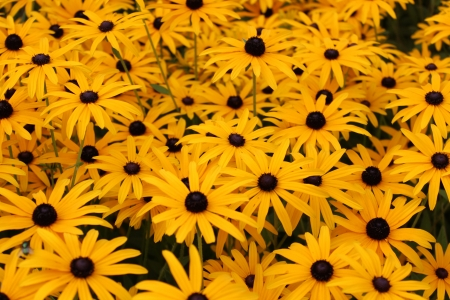 Bright Yellow Daisies, Summertime, England  Stock Photo - 23850444