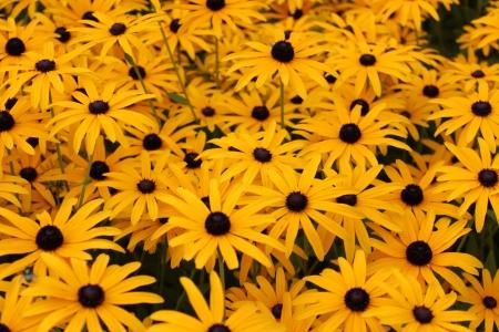 Bright Yellow Daisies, Summertime, England Stock Photo - 23850444