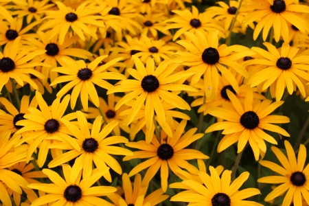 Bright Yellow Daisies, Summertime, England  Stock Photo - 23850445