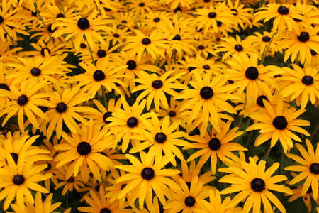 Bright Yellow Daisies, Summertime, England  Stock Photo - 23850446