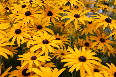 Bright Yellow Daisies, Summertime, England  Stock Photo - 23850449