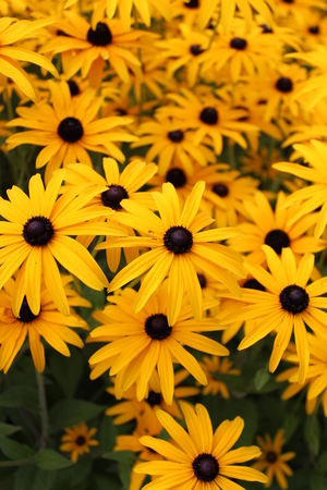 Bright Yellow Daisies, Summertime, England  Stock Photo - 23850450