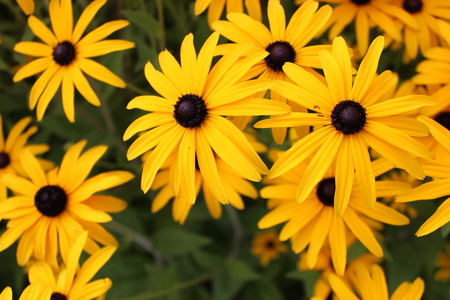herbaceous border: Bright Yellow Daisies, Summertime, England  Stock Photo