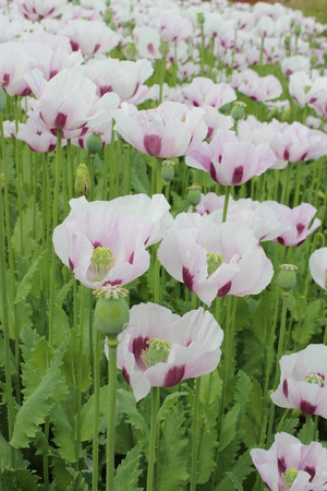 trembling: Field of Lilac Poppies