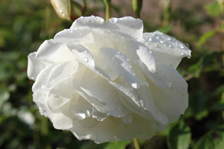 surface tension: White Rose With Raindrops, Summer, England