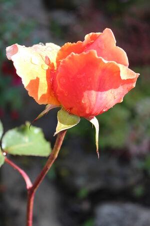 Peach Rose With Raindrops, England  photo