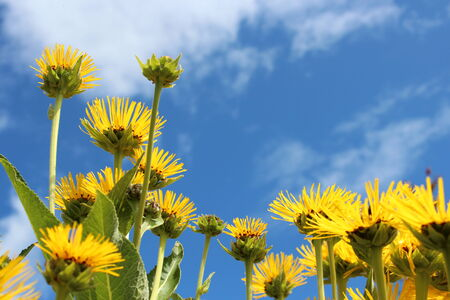multi petalled: Spikey Yellow Sunflowers Against A Blue Sky, England