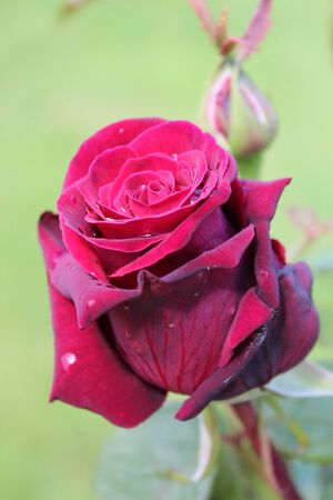 surface tension: Deep Red English Rose in Summer