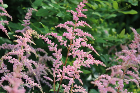 feathery: Pink Feathery Flowers, Summer, England  Stock Photo