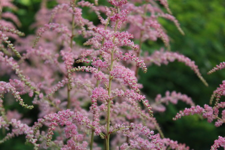 Pink Feathery Flowers, Summer, England  photo