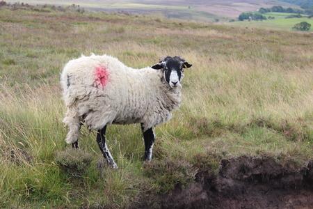 moorland: Moorland Sheep, Yorkshire, England
